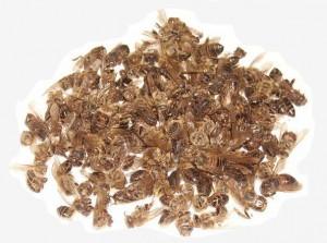 Рецепты пчелиного подмора от простатита